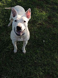 Dalmatian/Bull Terrier Mix Dog for adoption in Denver City, Texas - Buddy
