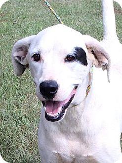 Catahoula Leopard Dog/Dalmatian Mix Dog for adoption in Slidell, Louisiana - Dash
