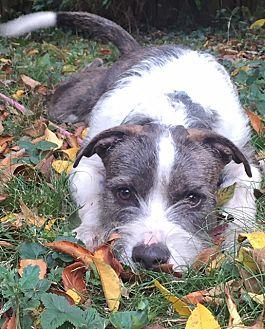 Terrier (Unknown Type, Medium) Mix Dog for adoption in White Cottage, Ohio - Cornelius