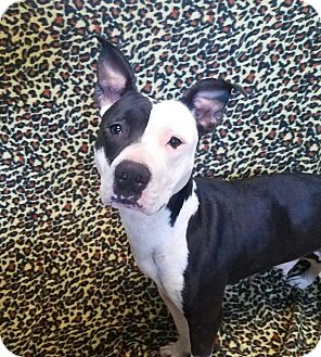 Pit Bull Terrier Mix Dog for adoption in Moberly, Missouri - Sadie