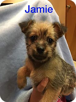 Brussels Griffon/Terrier (Unknown Type, Small) Mix Puppy for adoption in Glastonbury, Connecticut - Jamie