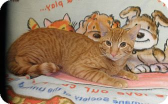 Domestic Shorthair Cat for adoption in Highland Park, New Jersey - Wyatt O'Brian