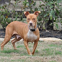 American Staffordshire Terrier Mix Dog for adoption in Boston, Massachusetts - Dixie
