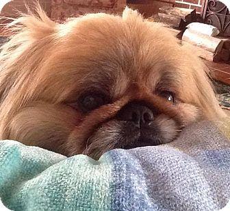 Pekingese Mix Dog for adoption in Richmond, Virginia - Timothy/Mugsie