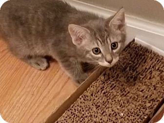 Domestic Shorthair Kitten for adoption in Stafford, Virginia - Giggles