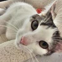 Adopt A Pet :: Janine - Menands, NY