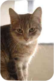 Domestic Shorthair Cat for adoption in Walker, Michigan - Steffi