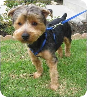 Yorkie, Yorkshire Terrier/Poodle (Toy or Tea Cup) Mix Dog for adoption in Orange, California - Nelson
