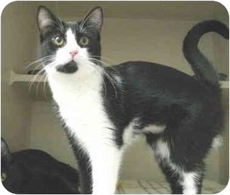 Domestic Shorthair Kitten for adoption in Mesa, Arizona - Lexie