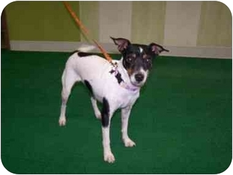 Rat Terrier/Jack Russell Terrier Mix Dog for adoption in Astoria, New York - Natalie