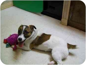 Jack Russell Terrier Mix Puppy for adoption in Houston, Texas - Miley in Houston