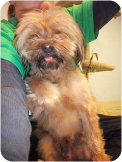 Shih Tzu/Brussels Griffon Mix Dog for adoption in Edwardsville, Illinois - Parker