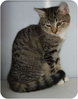 American Shorthair Kitten for adoption in Lake Charles, Louisiana - Wild Heart