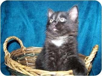 Domestic Mediumhair Kitten for adoption in Parkton, North Carolina - Hoss