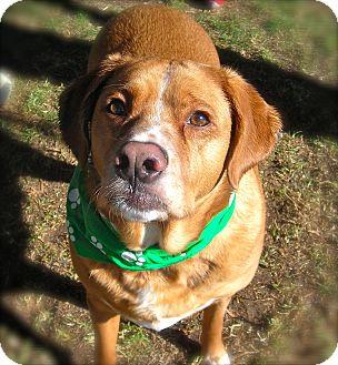 Golden Retriever/Boxer Mix Dog for adoption in El Cajon, California - Presley