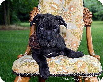 Shar Pei/Mastiff Mix Puppy for adoption in Davison, Michigan - Melbee