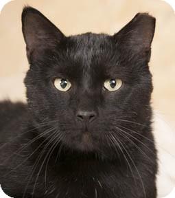 Domestic Shorthair Cat for adoption in Chicago, Illinois - Puma