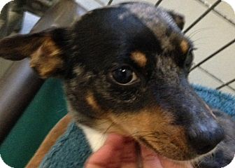 Dachshund/Chihuahua Mix Dog for adoption in Ooltewah, Tennessee - Bosco