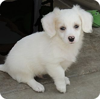 Cocker Spaniel/King Charles Spaniel Mix Puppy for adoption in La Habra Heights, California - Bobby