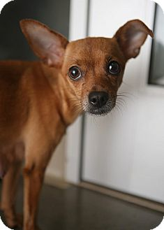 Manchester Terrier/Chihuahua Mix Dog for adoption in Berkeley, California - Missy