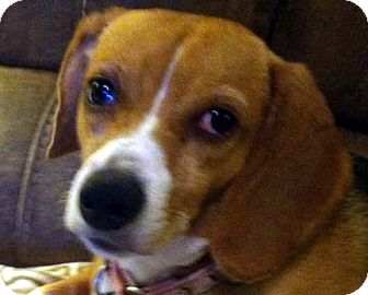 Beagle Dog for adoption in Houston, Texas - Lillie May