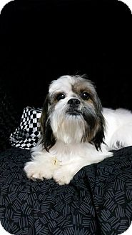 Lhasa Apso Mix Dog for adoption in Urbana, Ohio - Jax