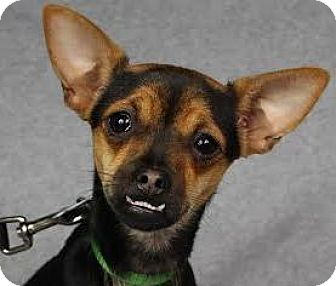 Chihuahua/Miniature Pinscher Mix Dog for adoption in Minneapolis, Minnesota - Lily