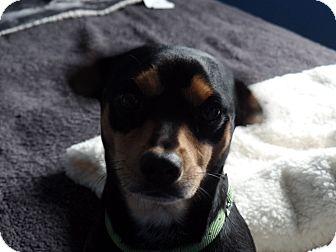 Miniature Pinscher/Dachshund Mix Dog for adoption in Ashburn, Virginia - Bradley