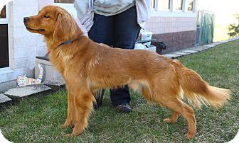 Golden Retriever Mix Dog for adoption in Oakland, New Jersey - Gus