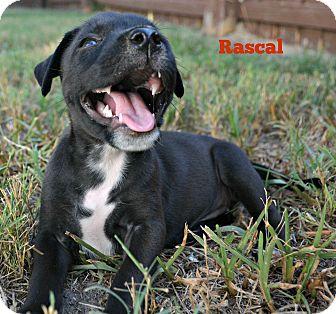Labrador Retriever/American Pit Bull Terrier Mix Puppy for adoption in Pt orange, Florida - Rascal