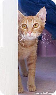 Domestic Shorthair Cat for adoption in Huntsville, Alabama - Marmalade