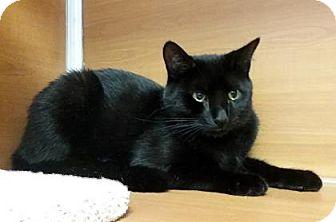 Domestic Shorthair Cat for adoption in Gloucester, Massachusetts - Black Velvet