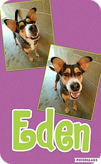 Shepherd (Unknown Type)/Corgi Mix Dog for adoption in Edwards AFB, California - Eden