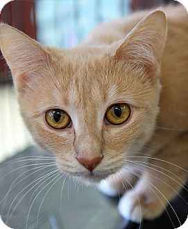 Domestic Shorthair Cat for adoption in THORNHILL, Ontario - ABBY