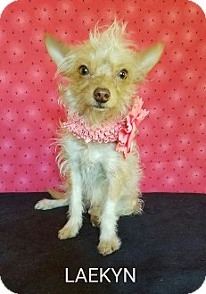Cairn Terrier/Norwich Terrier Mix Dog for adoption in Troutville, Virginia - Laekyn