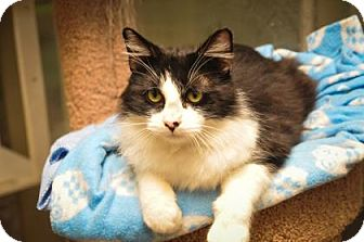 Domestic Mediumhair Cat for adoption in Leander, Texas - Kodiak