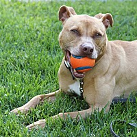 Adopt A Pet :: Leia - Reisterstown, MD