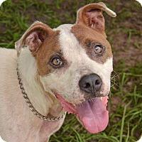 Adopt A Pet :: 10311523 BRUNO - Brooksville, FL