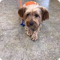 Adopt A Pet :: Kobe - Park Ridge, NJ