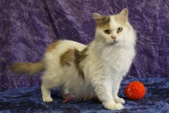 Domestic Longhair/Domestic Shorthair Mix Cat for adoption in Bristol, Indiana - Pudgie