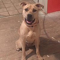 Adopt A Pet :: Sheeba - Dallas, TX
