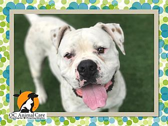 American Bulldog Mix Dog for adoption in Beverly Hills, California - FRECKLES A1532468 @ OCAC