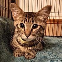 Domestic Shorthair Kitten for adoption in Jeannette, Pennsylvania - Chester