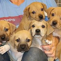 Adopt A Pet :: The P Litter - Little Compton, RI
