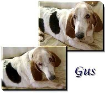 Basset Hound Dog for adoption in Marietta, Georgia - Gus