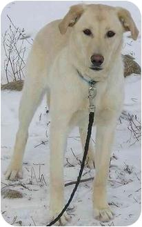 Labrador Retriever/Husky Mix Puppy for adoption in Glenwood, Minnesota - Sunny