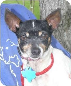 Rat Terrier Dog for adoption in Carrollton, Texas - Meg