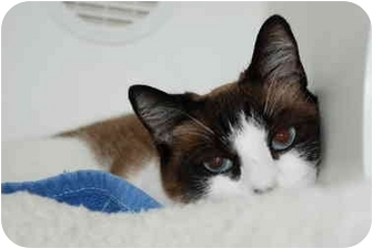 Snowshoe Cat for adoption in Putnam Hall, Florida - Muffin