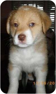 Border Collie/Australian Terrier Mix Puppy for adoption in Brattleboro, Vermont - Charlie