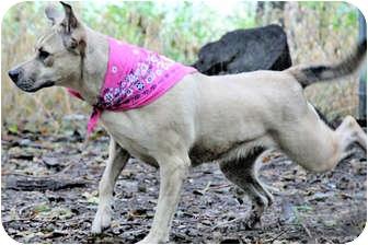 Labrador Retriever/Shepherd (Unknown Type) Mix Dog for adoption in Wichita, Kansas - Princess Diana